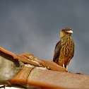 Yellow-headed Caracara (young)