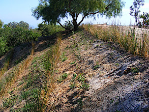 Photo: In this photo you can see the jute netting in between the Vetiver rows and also small plants of Rhus integrifolia, Lemonade Berry , a California native.