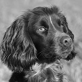 Little Revel by Chrissie Barrow - Black & White Animals ( monochrome, black and white, pet, cocker spaniel, fur, ears, greys, dog, mono, nose, portrait, eyes, animal,  )