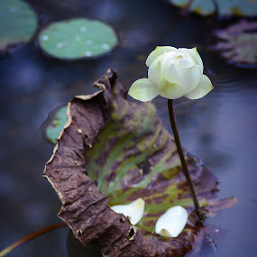 Withering Away Part 2. by Muhammad Fairuz Samsubaha - Nature Up Close Flowers - 2011-2013 ( water, lotus, wither, anat, photography, flower )