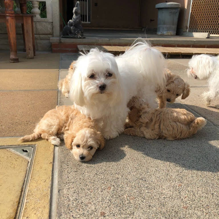 Cathys Maltese - Hypoallergenic & Non Shedding Maltese Puppies