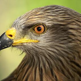 Bird of prey  by John More - Animals Birds ( bird, bird of prey, avian, close up, feather, hawk )