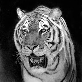 King Of The Jungle by Franky Go - Drawing All Drawing ( realistic, pencil, big cat, carnivore, tiger, obrazky tiger, lord, king, drawing, animal )
