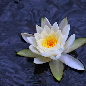 Water Lily 3 by Skip Spurgeon - Flowers Single Flower ( white flower, water lily )