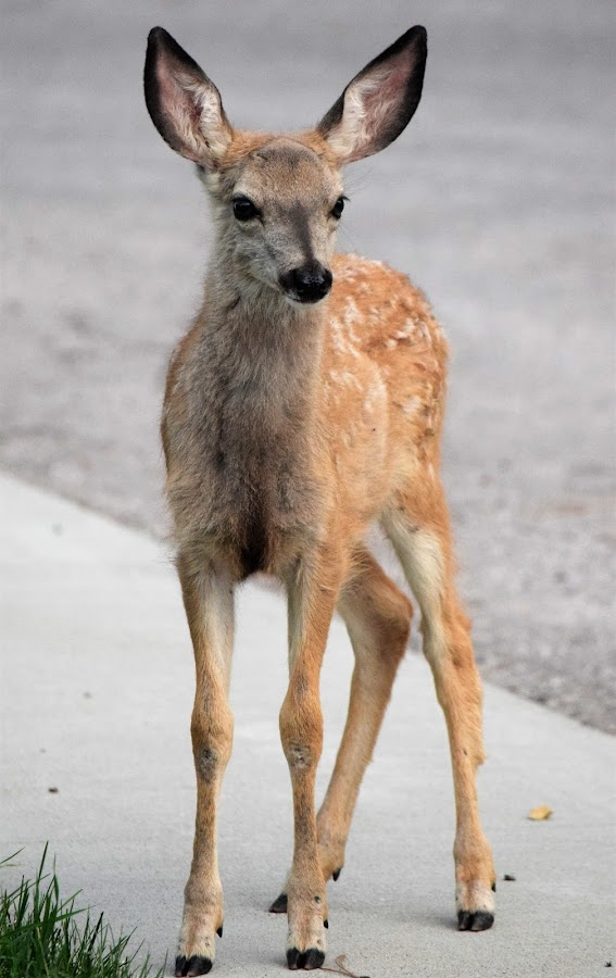 Just stopped by to visit, Deer. by Dawn Paul - Animals Other ( deer, fawn,  )