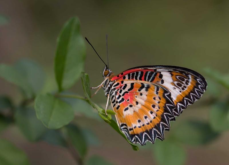 Farfalla tropicale di Atum-Pietro