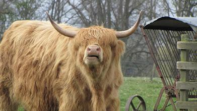 Photo: Vaches Highlands à Scone Palace