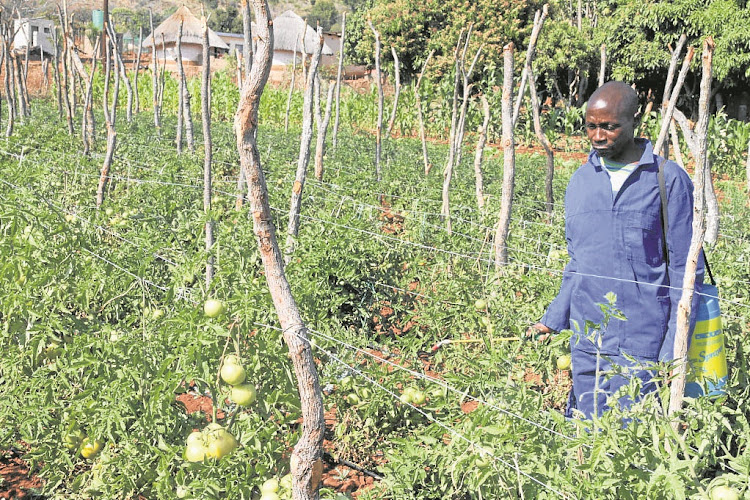 INITIATIVES: A three-year study says many small-scale farmers are combining farming with other activities and trade more in informal markets. Picture: SOWETAN