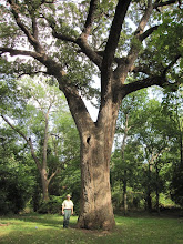 Photo: After that brain-teaser, it was nice to go to Benbrook and measure this state #2 bur oak -- a tree without controversy!