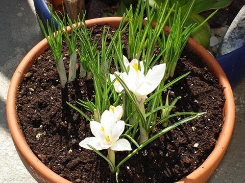 Ngải thực chất là loài thực vật có củ, thân thảo. Củ của loại ngải này có kích thước bằng củ nghệ