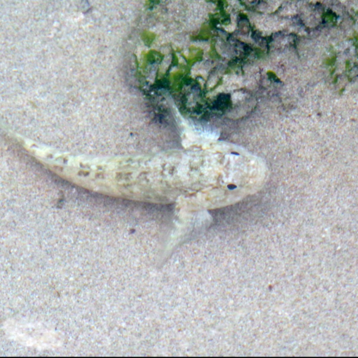 Common Sand-Goby