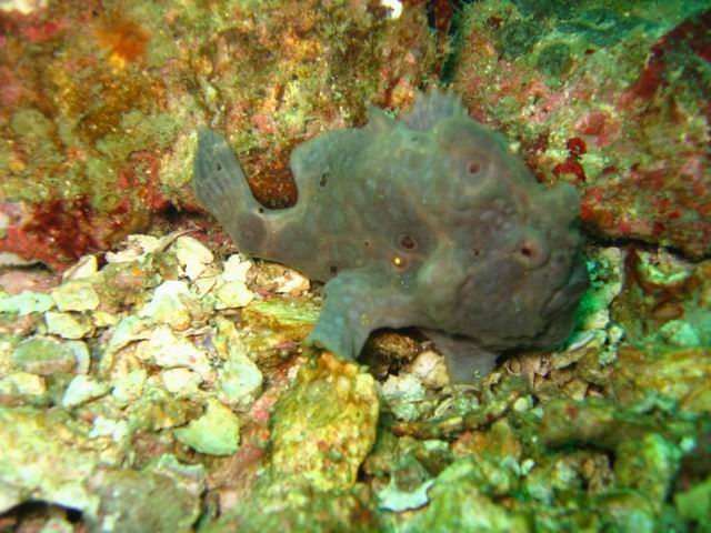 Photo: Antennaire gris aux Mergui ou Frogfish