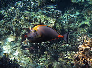 Photo: orange-spine unicornfish, Ao Maeyai