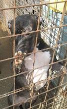 Photo: Mari. Staffordshire terrier keverék 1,5 éves szuka.  Gazdái társasházban nevelték őt kiskorától, de sajnos a szomszédok nem veszik jó néven a kutyatartást, feljelentették, így el kellett válniuk. Szobatiszta, Chip és oltás rendben. Ivartalanítva adjuk örökbe.  Váczikai Cerberus Alapítvány - Paks 0670-945-0612   http://allatok.info/animal.php?a=10450707