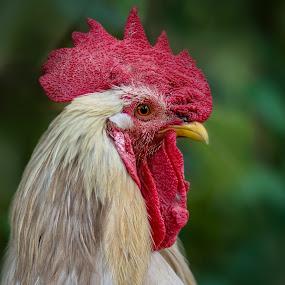 rooster portrait by Christoph Reiter - Animals Birds ( bird, rooster, portrait )