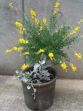 Photo: エニシダとヘリクサムの寄せ植え