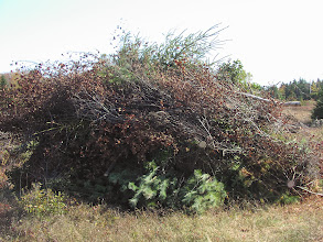 Photo: Brush piles growing on the next acre and a half we are recovering for wild blueberry production.