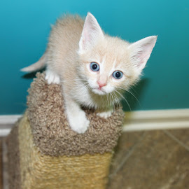 Foster Kitten Peter Lawford by Debbie Salvesen - Animals - Cats Kittens ( mischevious, kitten, curious, shelter, blue, adopt, cat, foster, playful,  )