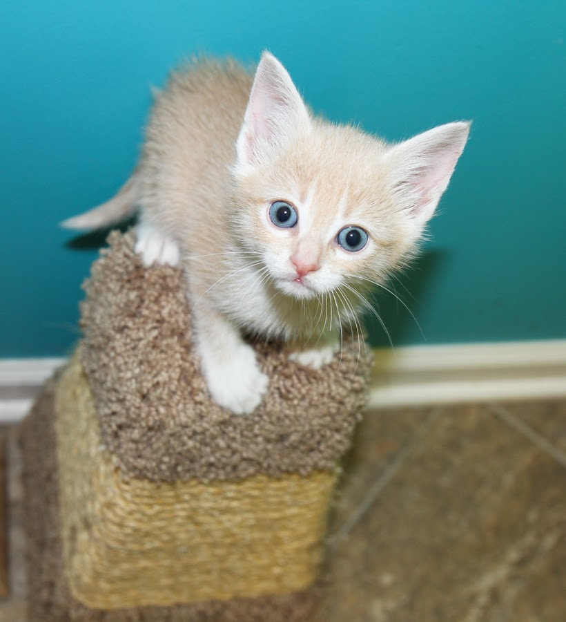 Foster Kitten Peter Lawford by Debbie Salvesen - Animals - Cats Kittens ( mischevious, kitten, curious, shelter, blue, adopt, cat, foster, playful,  )
