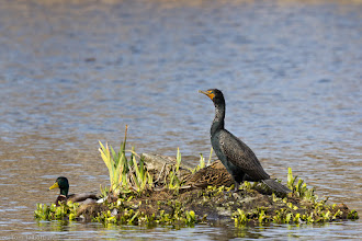 Photo: Among the Ducks - Double-crested Cormorants, Union Bay Nature Area, Seattle, WA