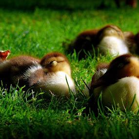 Deserved rest by Joaquim Machado - Animals Other