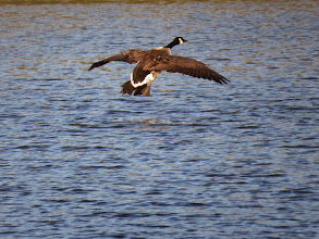Photo: Priorslee Flash This Canada Goose is rather late in getting its undercarriage down. (Ed Wilson)