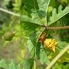 Spined Micrathena Spider