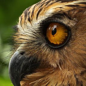 OWL eye by Donny Louis - Animals Birds
