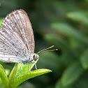 Pale grass blue. ♀