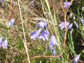 Photo: Harebell, Campanula rotundifolia West Yorkshire, meadow edge