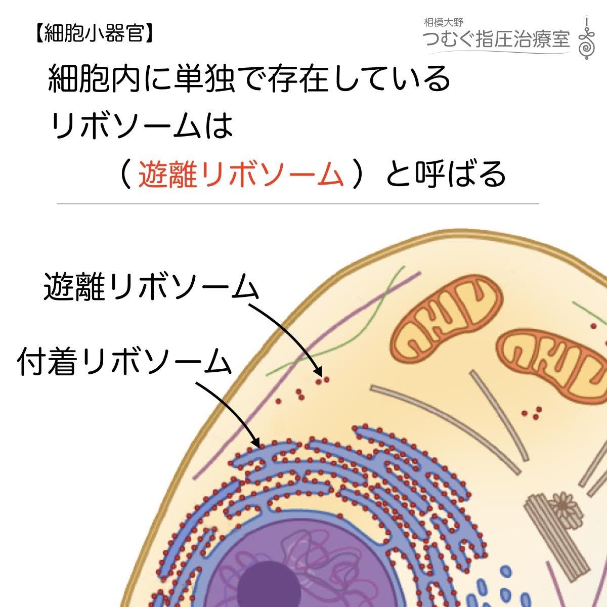 細胞内に単独で存在しているリボソームは(   )と呼ばれる