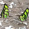 Dido Longwing Butterfly
