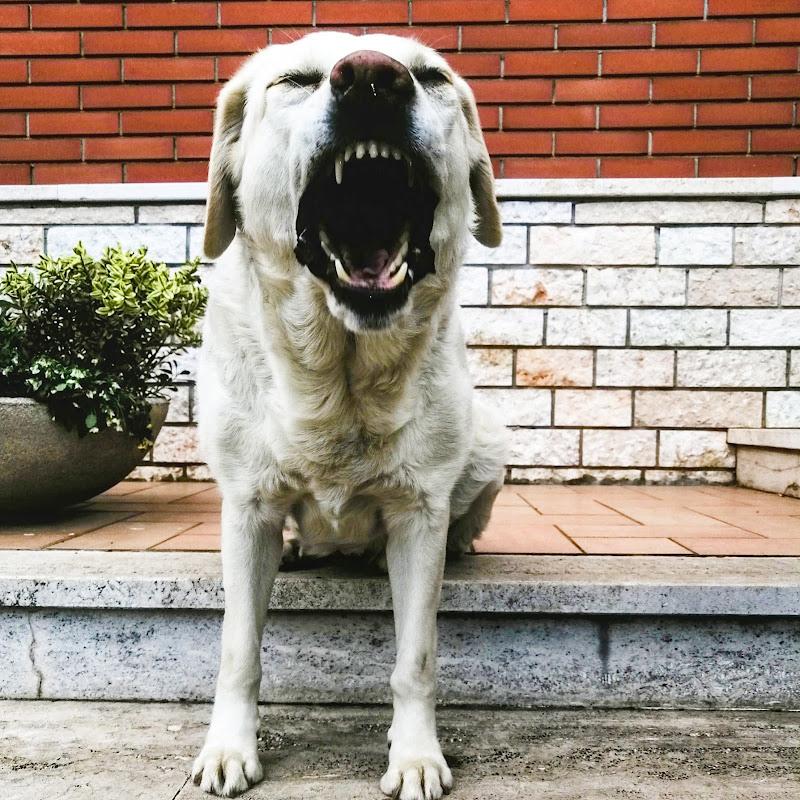 Il ruggito del labrador (in realtà stava sbadigliando) di claudio_busatto