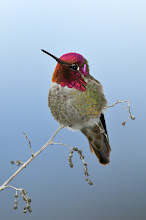 Photo: Shot of the Day - Anna's Hummingbird
