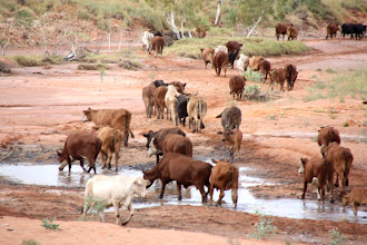 Photo: Year 2 Day 217 - Cattle in Taylor Creek #2