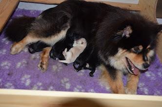 Photo: Smukke Ilo med de 6 nye B-hvalpe født 11-11-2015.