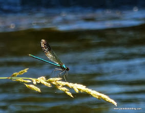 Photo: River jewelwing damselfly (Calopteryx aequabilis), Crescent Creek campground