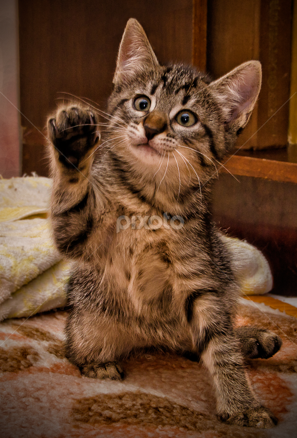 Highfive! by Anton Donev - Animals - Cats Kittens ( vertical, breed, cat, kitten, animals, beautiful, funny, little, cute, pretty, domestic, young, mammal, cats, fluffy, sweet, pet, purebred, baby, standing, kitty, small, animal )