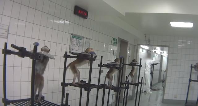 Fotograma del vídeo en el que se ve a monos agarrados con aparatos metálicos.