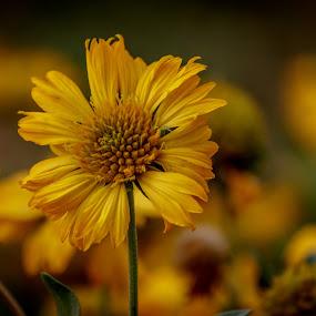 Blanket flower-Gaillardia by Brijesh Meena - Flowers Single Flower ( gaillardia, blanket flower, flower photography, flower, yellow flower )