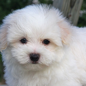 Maltese Dogs Wallpapers