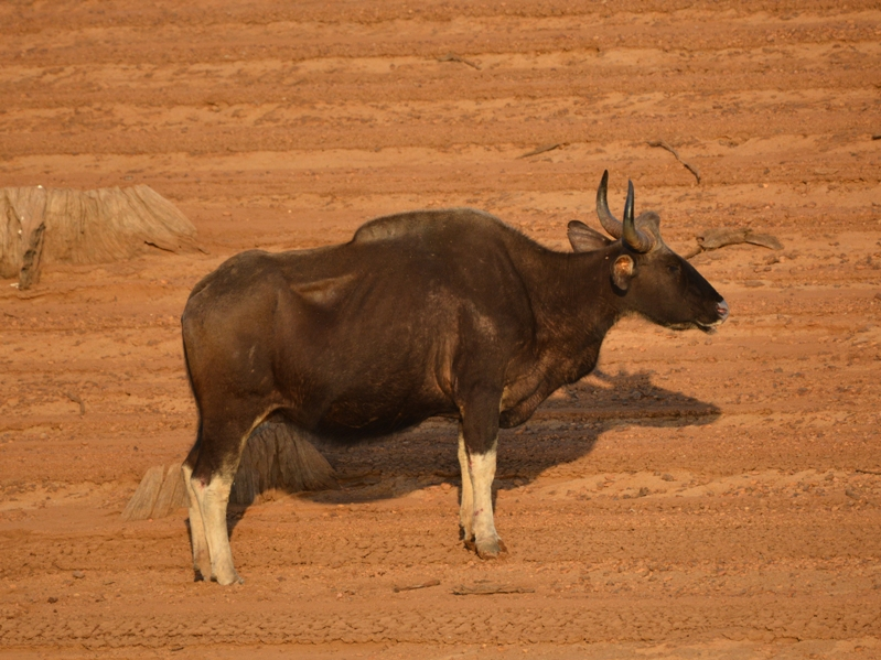 Gaur (Indian Bison)