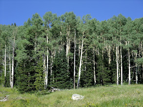 Photo: Aspen grove with conifers (mostly douglas fir and spruce) growing up in the understory