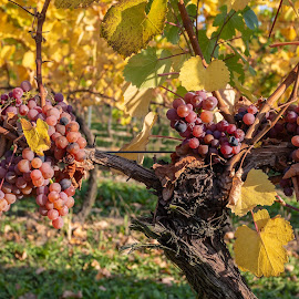 The vine by Tomasz Banasiak - Nature Up Close Trees & Bushes ( vineyard, bushes, winery, autumn, vine, wine, grapes )