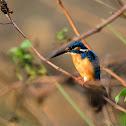 Kingfisher - Common Kingfisher