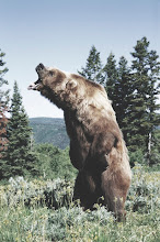 Photo: AMERICAN BROWN or GRIZZLY BEAR Ursus arctos horribilis snarling, July USA