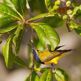 Yellow-bellied Sunbird. by Hennie Cilliers - Animals Birds