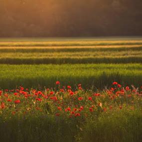 Lines by Nataša Kos - Landscapes Prairies, Meadows & Fields ( sunsets, landscape photography, poppy, lines, landscape, fields )
