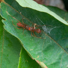 Red Ant Mimic Spider - Male