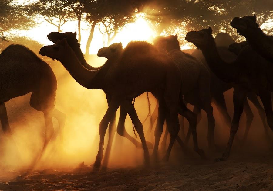 Race against Light by Jasminder Oberoi - Animals Other Mammals ( canon, canon 5d mark ii, sand, pushkar fair, desert, fine art, incredible india, pushkar mela, back light, photography, photo tour, pushkar, the footmarks, india, photo journalism, travel photography, jas fotography )